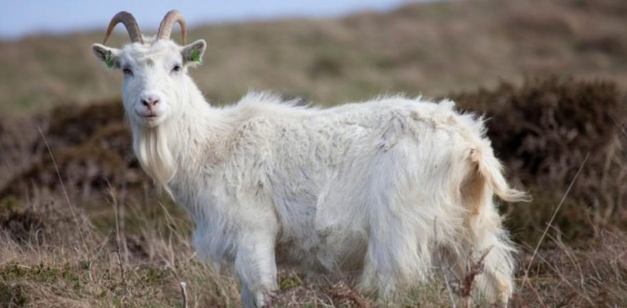 Cashmere-goat-1030x502